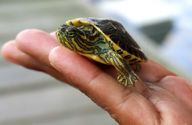¿Cómo alimento a mi tortuga doméstica? Ideas sobre una dieta nutritiva y saludable