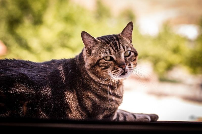 Los problemas de salud más comunes en los gatos