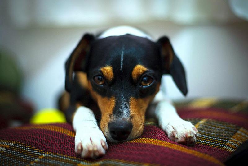 ¿Cómo proteger a mi perro de los fuegos artificiales y los petardos?