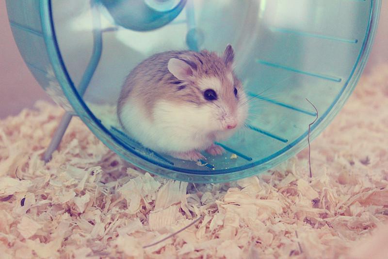 Veterinario Para hamster