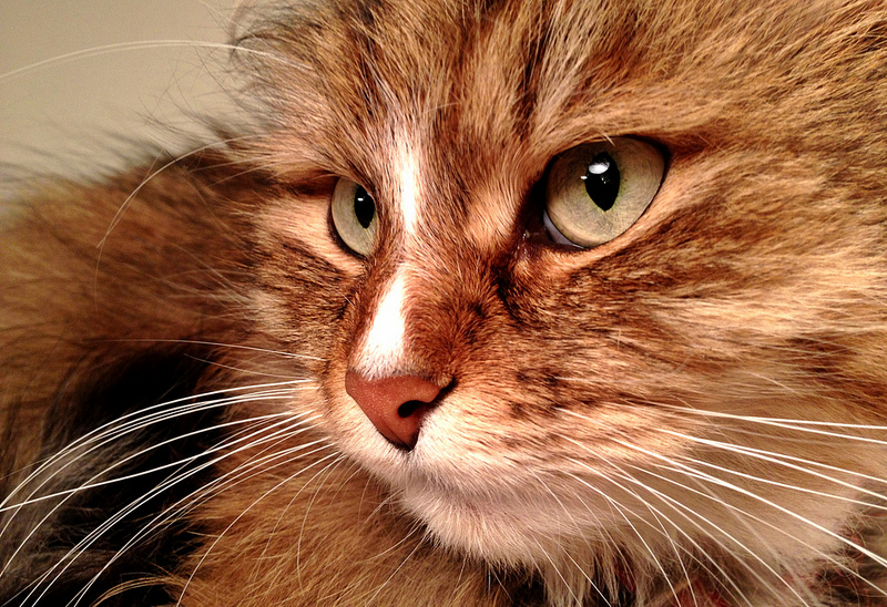 Cardiomiopatía felina: cardiomiopatía hipertrófica