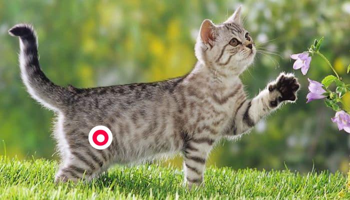 Cistitis idiopática felina FLUTD/FUS