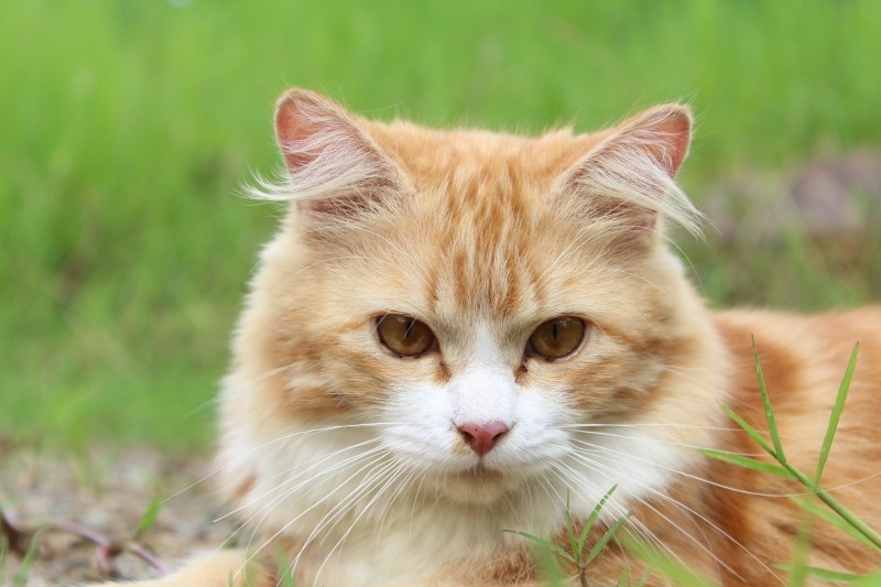 Leucemia felina (FeIV): Propagación del virus/patogenia