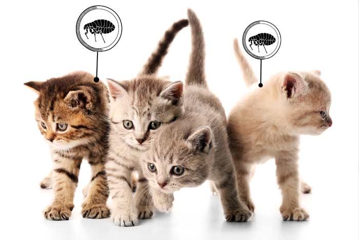 Enfermedades vectoriales en gatos