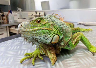 15.12.21. Iguana Guancho (2)_Small