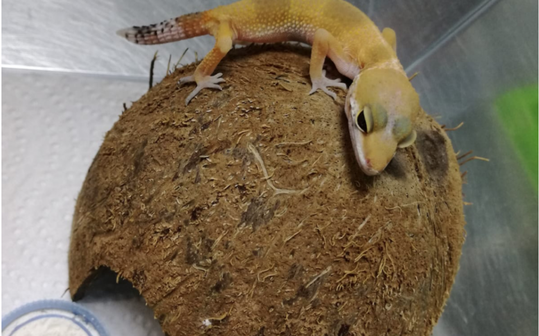 Animales exóticos: Gecko leopardo