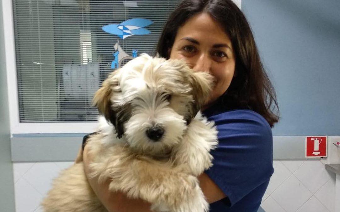 Perros: Terrier Tibetano